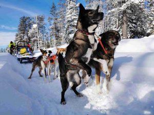 Huskytour durch die finnische Wildnis Lapplands